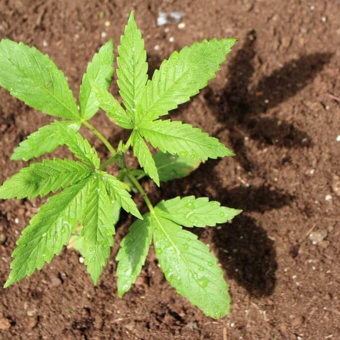 young-green-medicinal-marijuana-plant-in-a-pot-after-a-rain-fall-picture-id1267382058-square